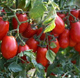 Pomodorini Corbarini