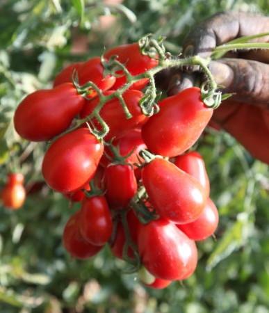 Il Pomodorino di Corbara