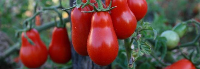 Il Mattino Innovazione - Pomodorino di Corbara